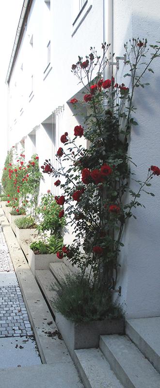 Rosen im Innenhof