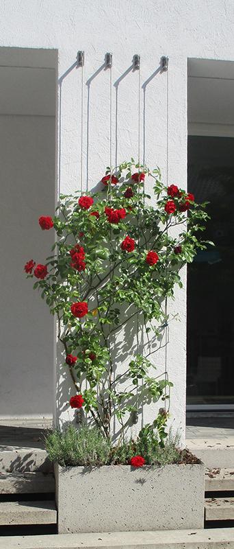 Rosenstrauch im Innenhof