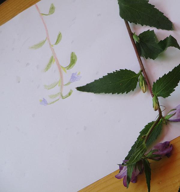 Zeichnung Wiesenblume